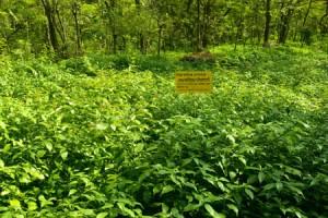 Kottakkal_Ayurveda_Arya_Vaidya_Sala_Demonstration_Garden_3