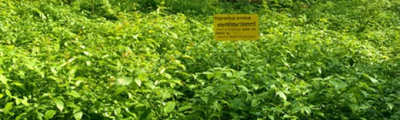 Scarcity of Quality Ayurvedic plants